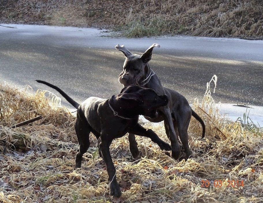 psi ve hře užívají potravinové dopňky stravy pro psy ProArtLeg Maxy